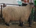 shearing 038